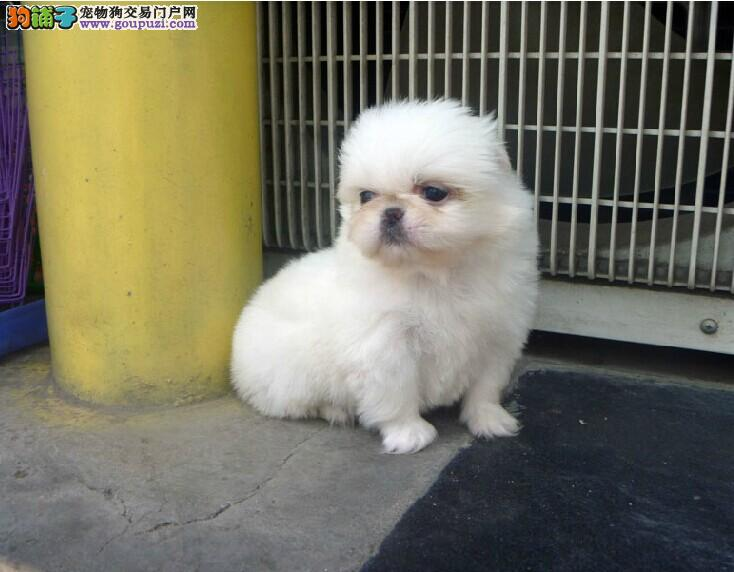 CKU认证犬舍 专业出售极品 京巴幼犬CKU认证品质绝对保障1