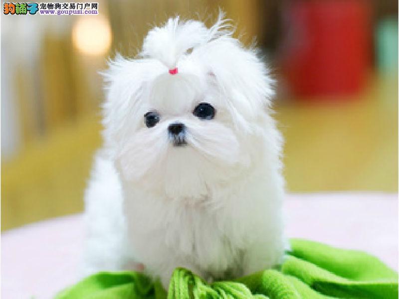 CKU犬舍认证出售高品质哈尔滨马尔济斯当日付款包邮1
