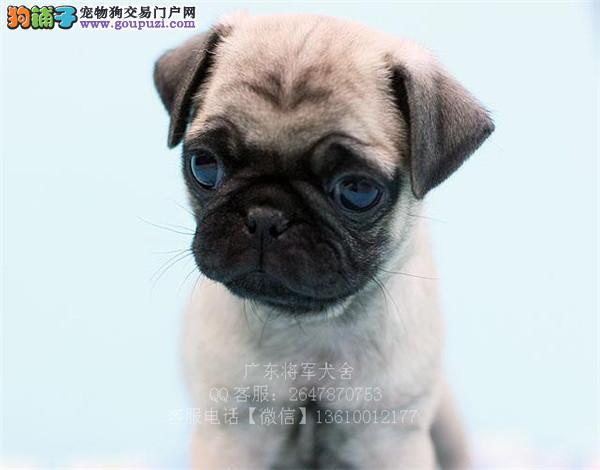 出售出售纯种小体巴哥幼犬. 现2个月1