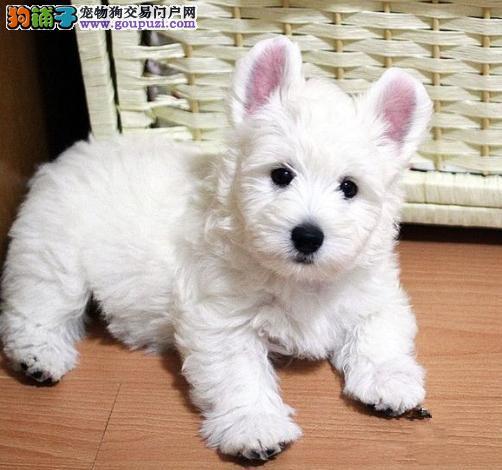 重庆西高地犬哪里有卖的 重庆西高地犬价格