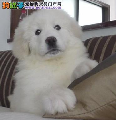 精品繁殖 终身保障 纯种健康大白熊犬出售 健康第一