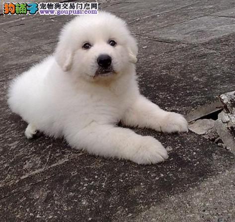 连云港自家养殖纯种大白熊低价出售品相一流疫苗齐全1