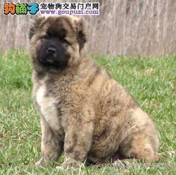 高加索犬的特点和与藏獒之间的不同之处