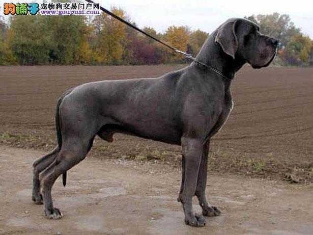 【大丹犬价格】纯种大丹犬多少钱一只(全国报价)