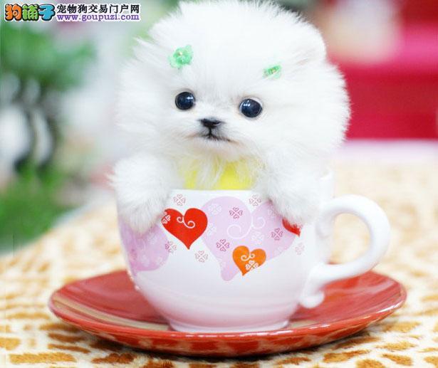 【茶杯犬介绍】茶杯犬怎么看纯不纯(FCI标准)