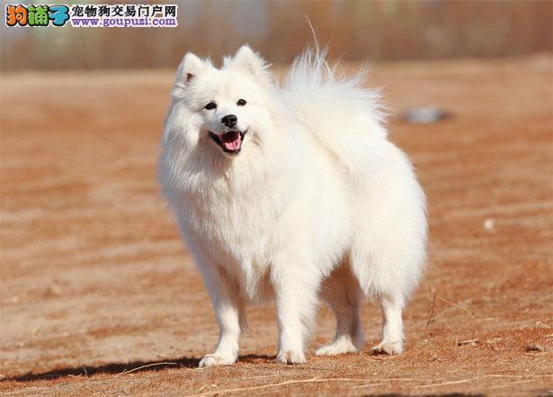【银狐犬介绍】银狐犬怎么看纯不纯(FCI标准)