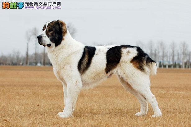 【中亚牧羊犬价格】纯种中亚牧羊犬多少钱一只(全国报价)