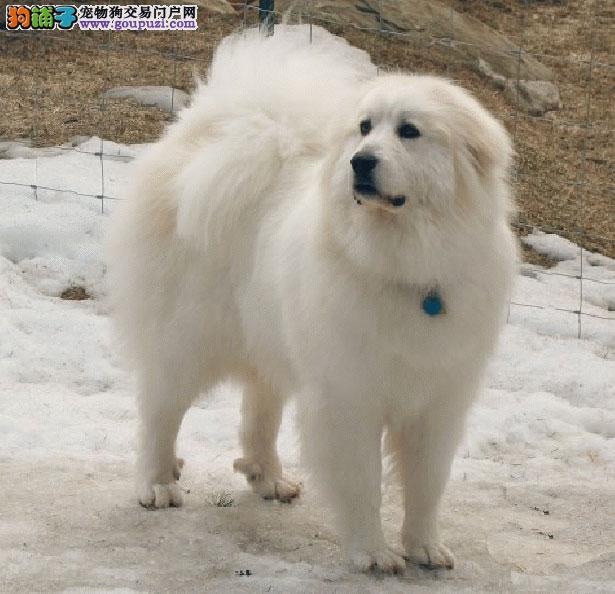 【大白熊犬价格】纯种大白熊犬多少钱一只(全国报价)