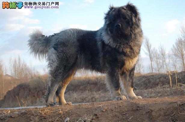 【高加索犬价格】纯种高加索犬多少钱一只(全国报价)