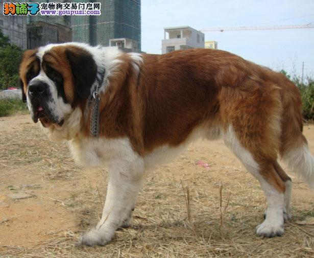 【圣伯纳犬价格】纯种圣伯纳犬多少钱一只(全国报价)5