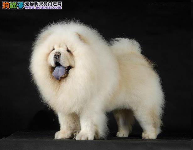 【松狮犬价格】纯种松狮犬多少钱一只(全国报价)