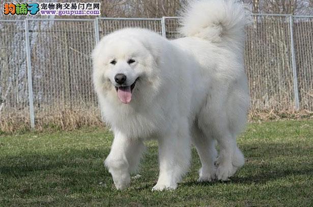 【大白熊犬介绍】大白熊犬怎么看纯不纯(FCI标准)5