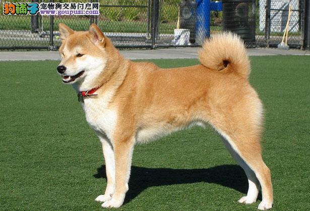 【秋田犬价格】纯种秋田犬多少钱一只(全国报价)