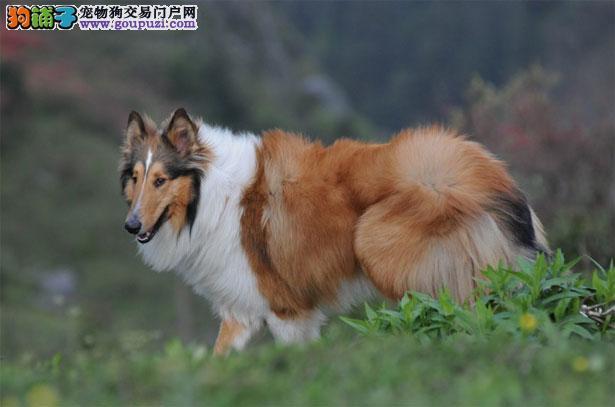 【苏格兰牧羊犬介绍】苏格兰牧羊犬怎么看纯不纯(FCI标准)