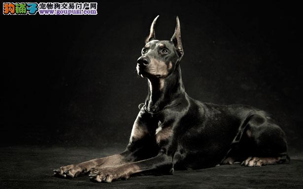 【杜宾犬介绍】杜宾犬怎么看纯不纯(FCI标准)5