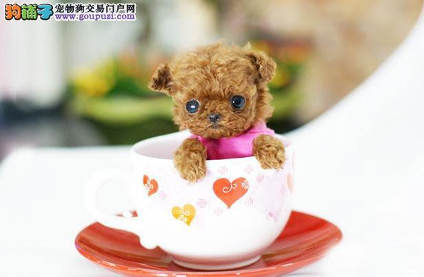 【茶杯犬价格】纯种茶杯犬多少钱一只(全国报价)5