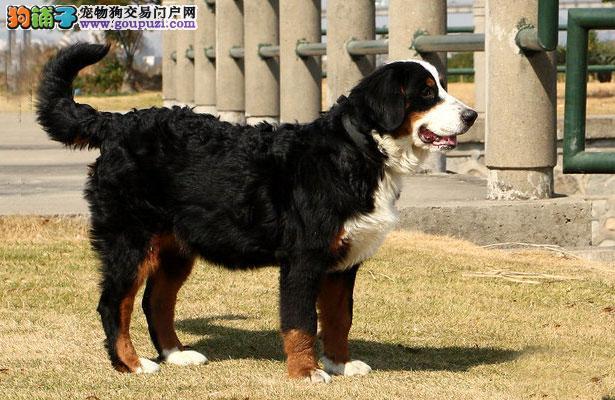 【伯恩山犬价格】纯种伯恩山犬多少钱一只(全国报价)