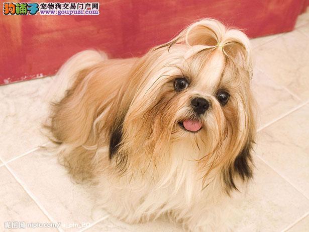 【西施犬价格】纯种西施犬多少钱一只(全国报价)