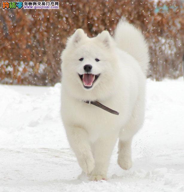 【银狐犬价格】纯种银狐犬多少钱一只(全国报价)