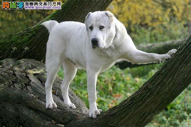 【中亚牧羊犬介绍】中亚牧羊犬怎么看纯不纯(FCI标准)