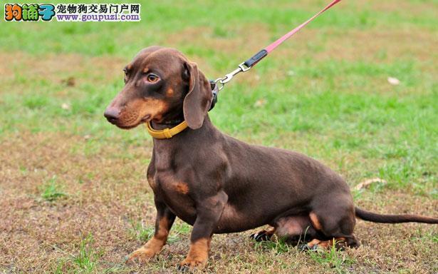 【腊肠犬介绍】腊肠犬怎么看纯不纯(FCI标准)
