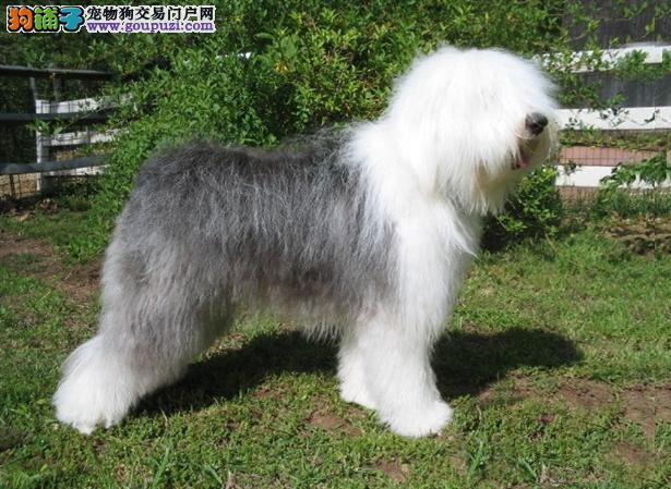 【古代牧羊犬介绍】古代牧羊犬怎么看纯不纯(FCI标准)