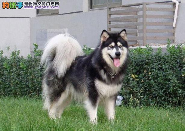 【阿拉斯加犬价格】纯种阿拉斯加犬多少钱一只(全国报价)