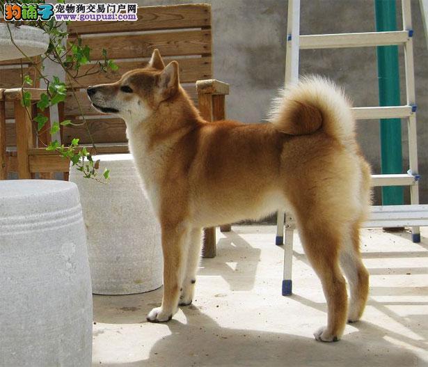 【柴犬价格】纯种柴犬多少钱一只(全国报价)