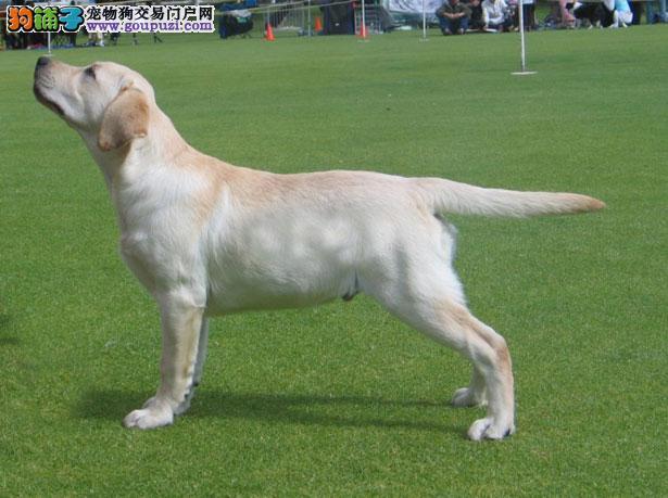 【拉布拉多犬价格】纯种拉布拉多犬多少钱一只(全国报价)