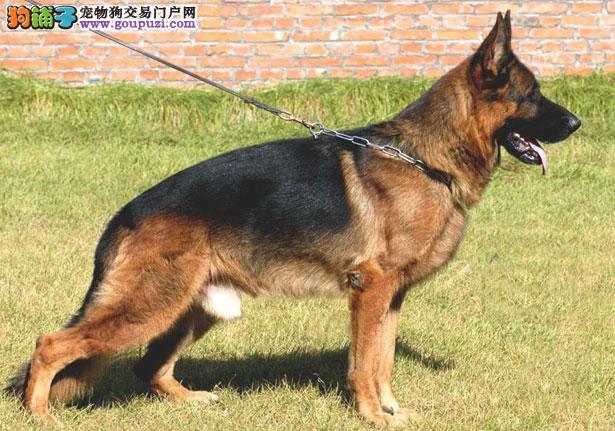 【德国牧羊犬价格】纯种德国牧羊犬多少钱一只(全国报价)