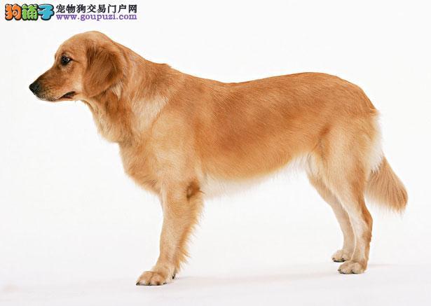 【金毛犬价格】纯种金毛犬多少钱一只(全国报价)
