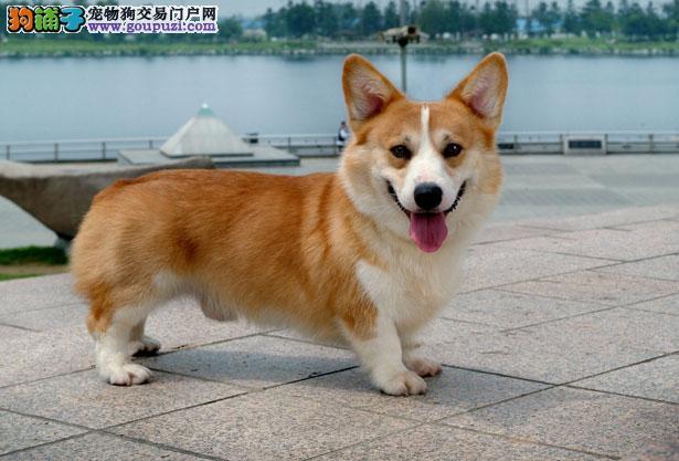【柯基犬价格】纯种柯基犬多少钱一只(全国报价)