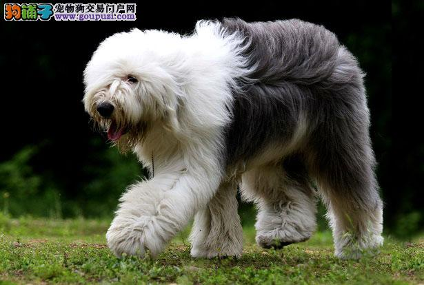 【古代牧羊犬价格】纯种古代牧羊犬多少钱一只(全国报价)