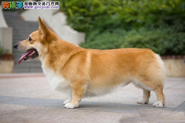 【柯基犬介绍】柯基犬怎么看纯不纯(FCI标准)