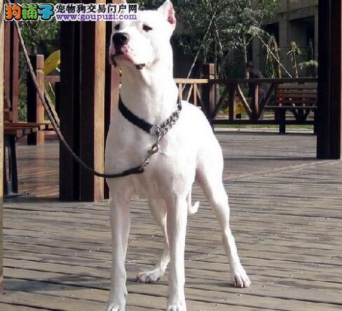 幼犬喂养建议 初养者饲养杜高犬幼犬应注意的几个问题