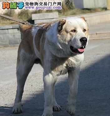 分享喂养中亚牧羊犬的方法及相关经验