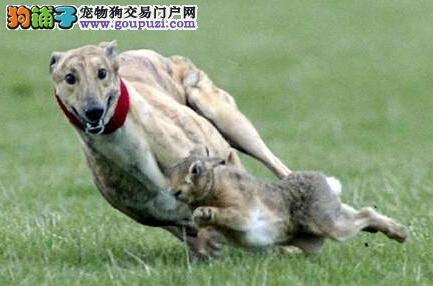 决定主人们是否能够饲养格力犬的三大条件