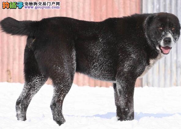 学会用方法 饲养中亚牧羊犬哪些方式最正确