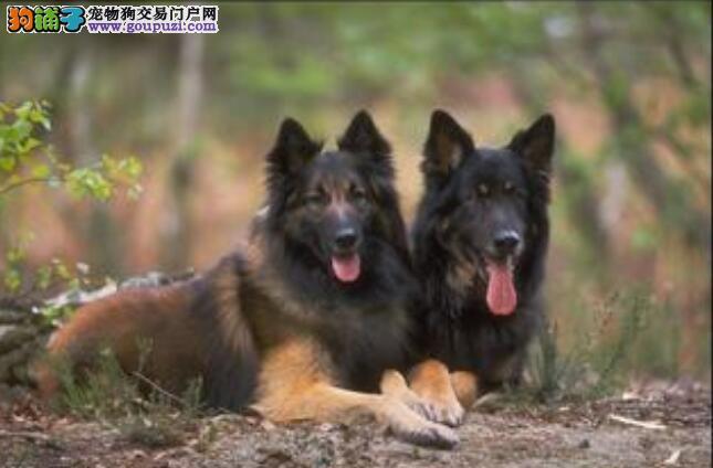 狼狗好不好养?养狼狗的几个要求和饲养的重点