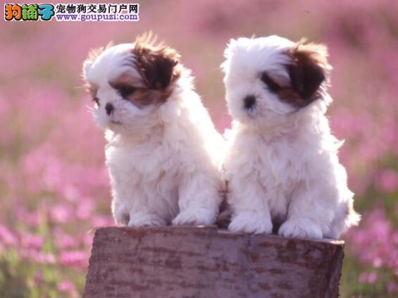 走入新世界 刚出生的茶杯犬宝宝的饲养方法