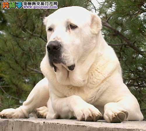 判断母中亚牧羊犬是否有孕在身是主人的必修课