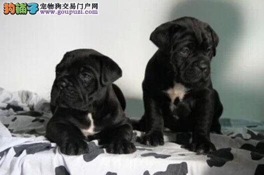 幼犬管理大全 卡斯罗犬幼犬护理的方方面面