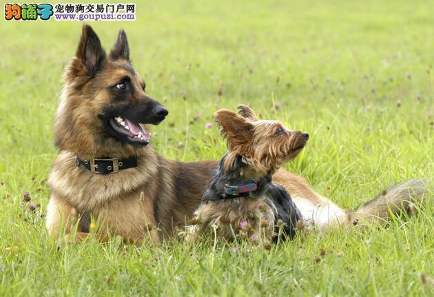 防范包皮炎 如何帮助狼狗清洁生殖器卫生