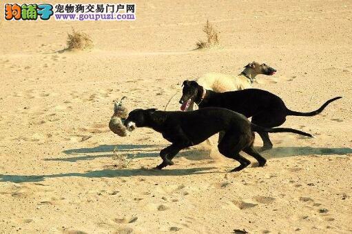 格力犬母犬拒绝哺乳主人应如何处理最妥当