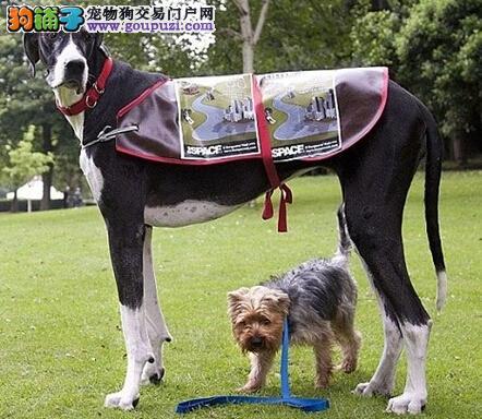 新手必知的三个喂养大丹犬的关键步骤
