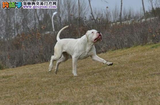 青年杜高犬的成长之路 怎样管理与饲养杜高犬