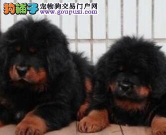 狗场多窝昆明藏獒幼犬低价出售 喜欢的欢迎上门挑选