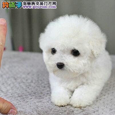 常年出售纯种精品的北京泰迪犬 专业缔造完美品质3