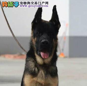心虚男子路遇警犬落荒而逃 警犬飞身而扑立即锁定
