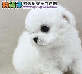 黑黑眼睛 大大的头 卷卷绒毛 人见人爱的比熊重庆热卖4